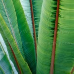 banana leaves san diego , 6 Banana Leaf San Diego In Plants Category