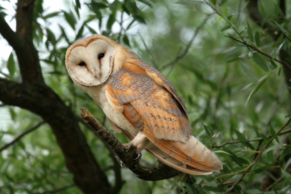 Birds , 6 Owl Facts For Kids : Barn Owl Facts For Kids