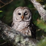barred owl facts , 6 Barred Owl Facts In Birds Category