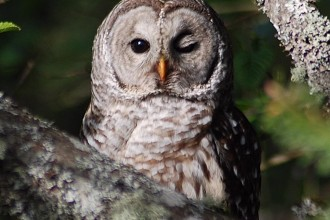 barred owl facts in Scientific data