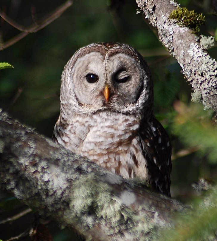 Birds , 6 Barred Owl Facts : Barred Owl Facts