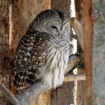 barred owl fast facts , 6 Barred Owl Facts In Birds Category