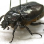 beetle speciment , 6 Beetle Bugs Identification In Bug Category