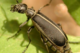 beetle type bugs in Animal