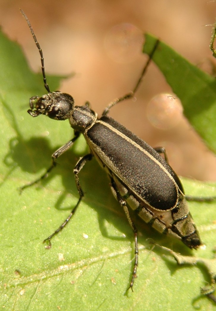 Bug , 6 Beetle Type Bugs : Beetle Type Bugs