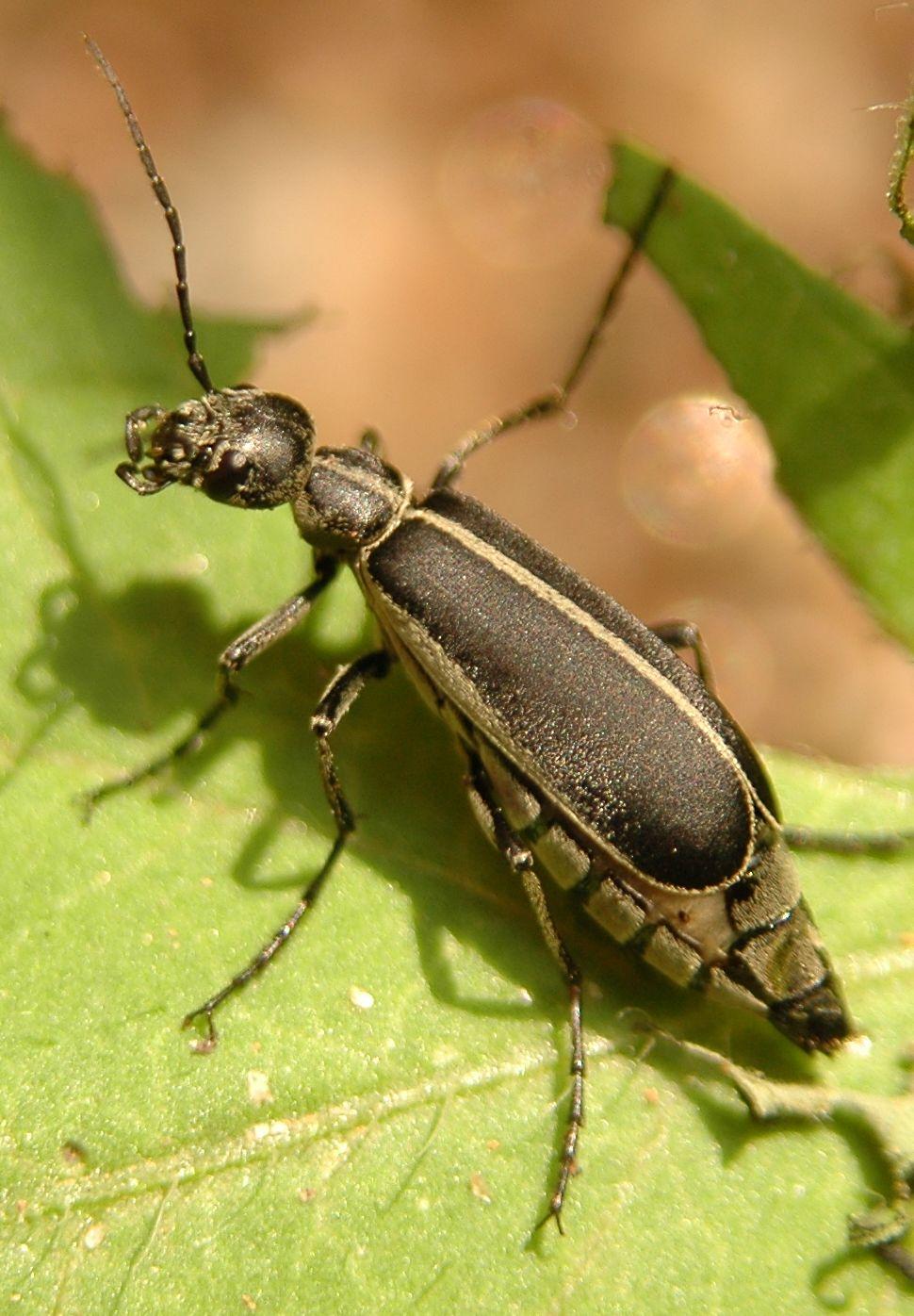 beetle type bugs