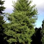 bhutan pine tree , 5 Pine Tree Photos In Plants Category