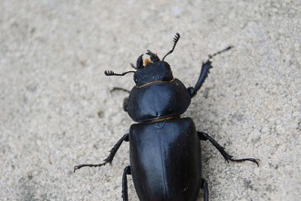 Big Beetle Like Bugs , 6 Big Beetle Bugs In Bug Category