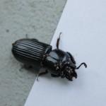 big black beetle bugs , 6 Big Beetle Bugs In Bug Category