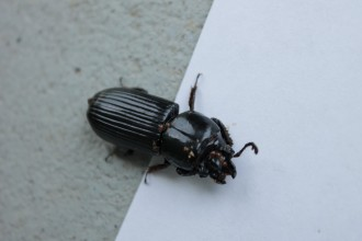 Big Black Beetle Bugs , 6 Big Beetle Bugs In Bug Category
