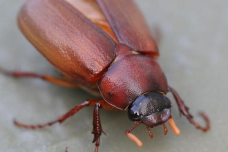 Big Brown Beetle Bug , 6 Big Beetle Bugs In Bug Category