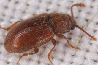 Bitty Brown Beetle , 6 Brown Beetle Bugs In Bug Category