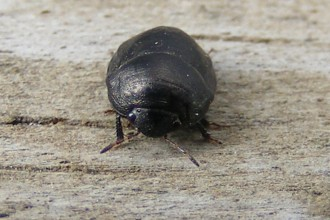 Black Bug , 6 Small Black Beetle Like Bugs In Bug Category