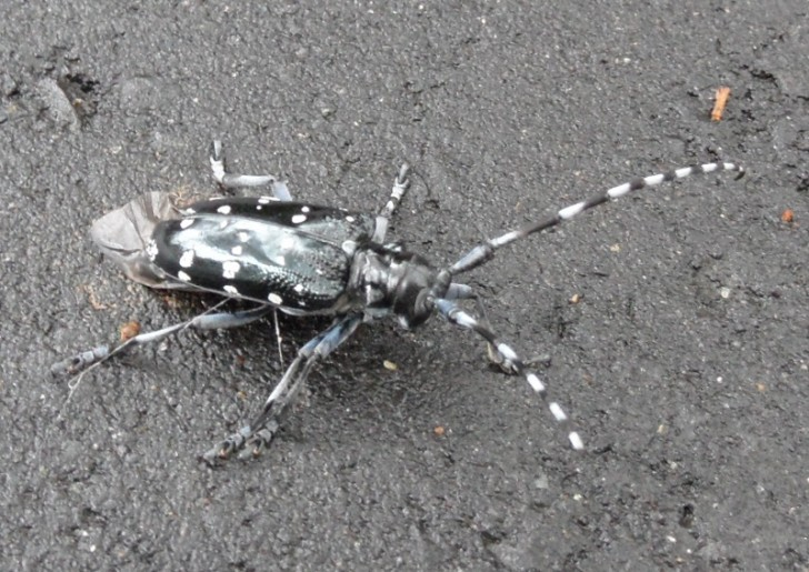 Bug , 6 White Beetle Bugs : Black Bug With White Spots