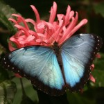 blue morpho butterfly morpho peleides , 6 Blue Morpho Butterfly Species Photos In Butterfly Category