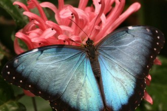 blue morpho butterfly morpho peleides in Cat