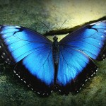 blue morpho butterfly size pic 1 , 6 Blue Morpho Butterfly Size In Butterfly Category