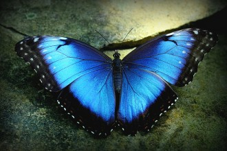 blue morpho butterfly size pic 1 in Butterfly