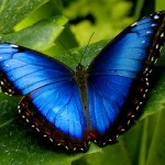 blue morpho butterfly size pic 2 , 6 Blue Morpho Butterfly Size In Butterfly Category