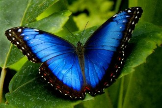 blue morpho butterfly size pic 2 in Plants