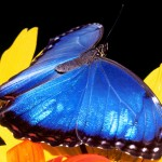 blue morpho butterfly size pic 3 , 6 Blue Morpho Butterfly Size In Butterfly Category