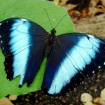 blue morpho butterfly size pic 5 , 6 Blue Morpho Butterfly Size In Butterfly Category