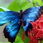 blue morpho butterfly size pic 6 , 6 Blue Morpho Butterfly Size In Butterfly Category