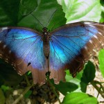 blue morpho butterfly species , 6 Blue Morpho Butterfly Species Photos In Butterfly Category