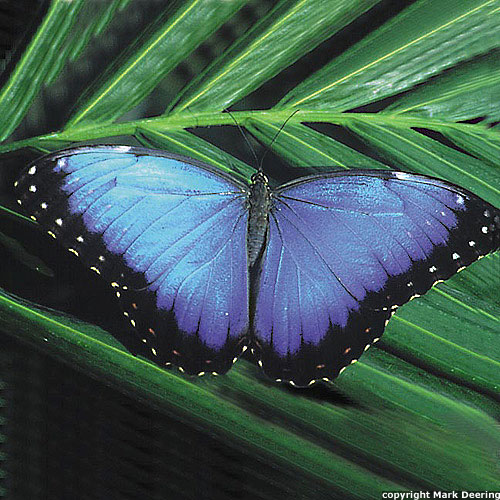 Butterfly , 6 Blue Morpho Butterfly Species Photos : Blue Morpho Butterfly Species Picture