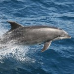 bottlenose dolphin fun fact , 6 Bottlenose Dolphin Facts For Kids In Mammalia Category