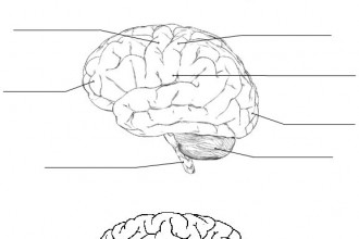 Brain Review , 4 Human Brain Diagram Quiz In Brain Category