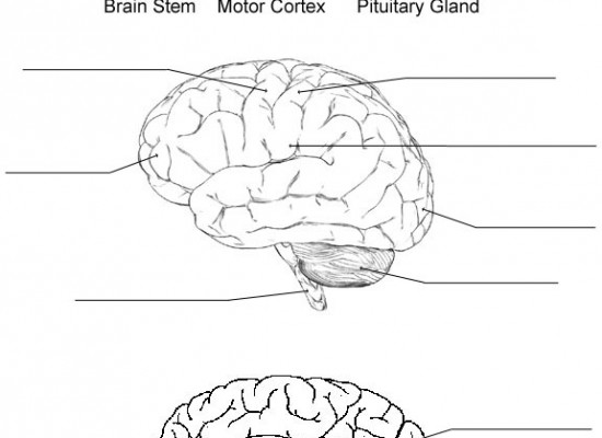 Parts Of The Brain Diagram Quiz