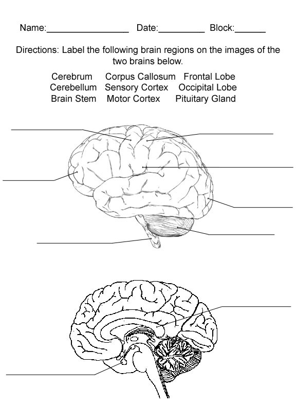 Brain , 4 Human Brain Diagram Quiz : Brain Review