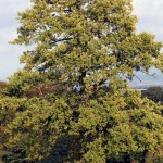 british tree identification , 6 British Tree Photos In Plants Category
