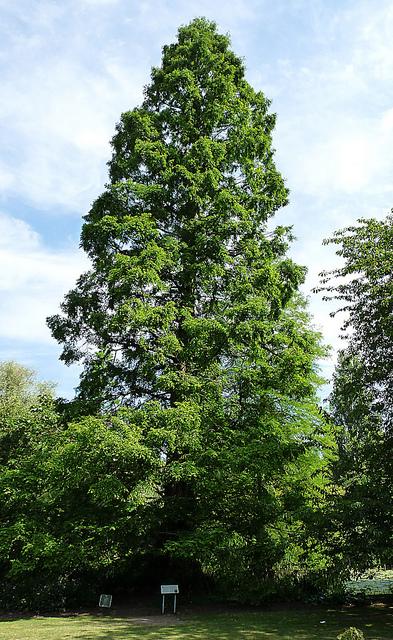 Plants , 6 British Tree Photos : British Tree Leaves Pictures