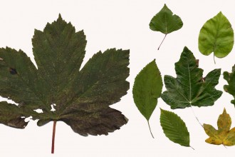 British Tree Leaves , 4 British Tree Leaves In Plants Category