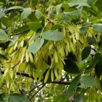 british tree names , 6 British Tree Photos In Plants Category