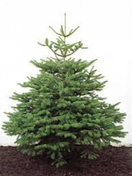 british tree