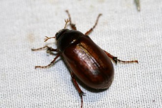 brown beetle bugs in Dog