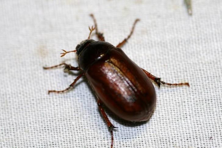 Bug , 6 Brown Beetle Bugs : Brown Beetle Bugs