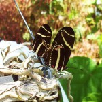 butterfly mating season photo , 8 Photos Of Zebra Longwing Butterfly Mating In Butterfly Category