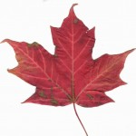 canadian maple leaf picture , 7 Maple Leaf Photos In Plants Category
