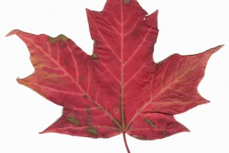 canadian maple leaf picture in Dog