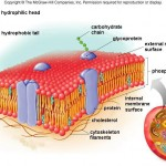 cell membrane diagram , 6 Pictures Of Cellular Membrane In Cell Category