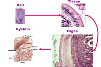 Cells Tissues Organs Systems , 6 Cells Tissues In Cell Category