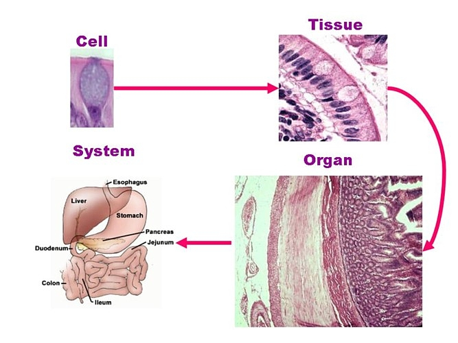 Cell , 6 Cells Tissues : Cells Tissues Organs Systems