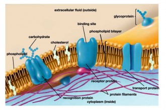 Cellular Membrane Function , 6 Pictures Of Cellular Membrane In Cell Category