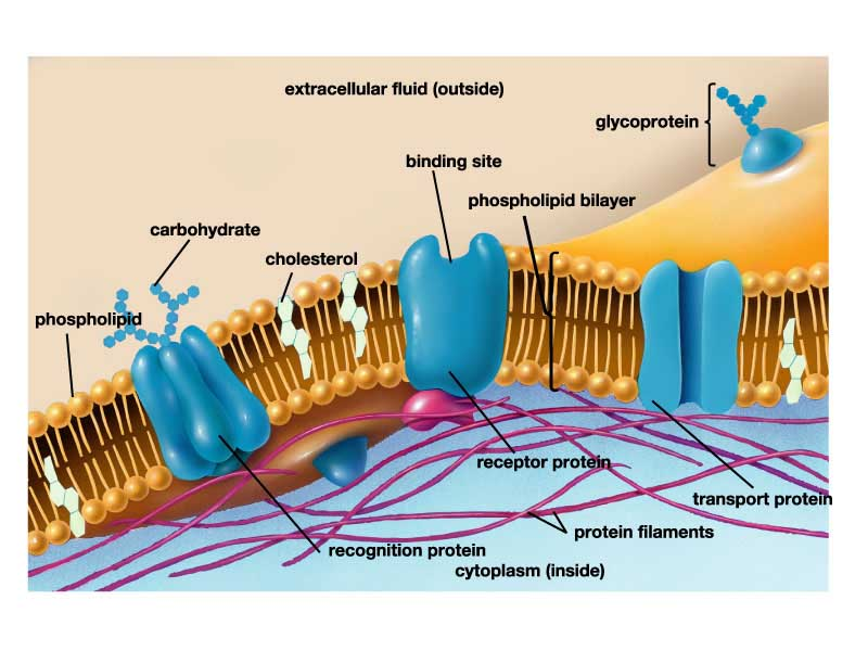 Cellular Membrane Function 6 Pictures Of Cellular Membrane