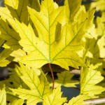 chlorotic leaf autumn blaze maple , 7 Maple Leaf Lawn Care In Plants Category