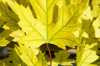 chlorotic leaf autumn blaze maple in Ecosystem